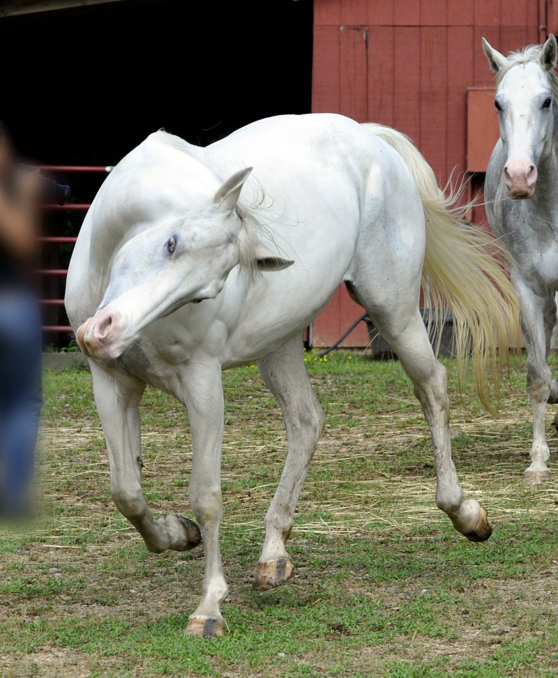 A Dream Of 3 White Horse Mare And Horsemare