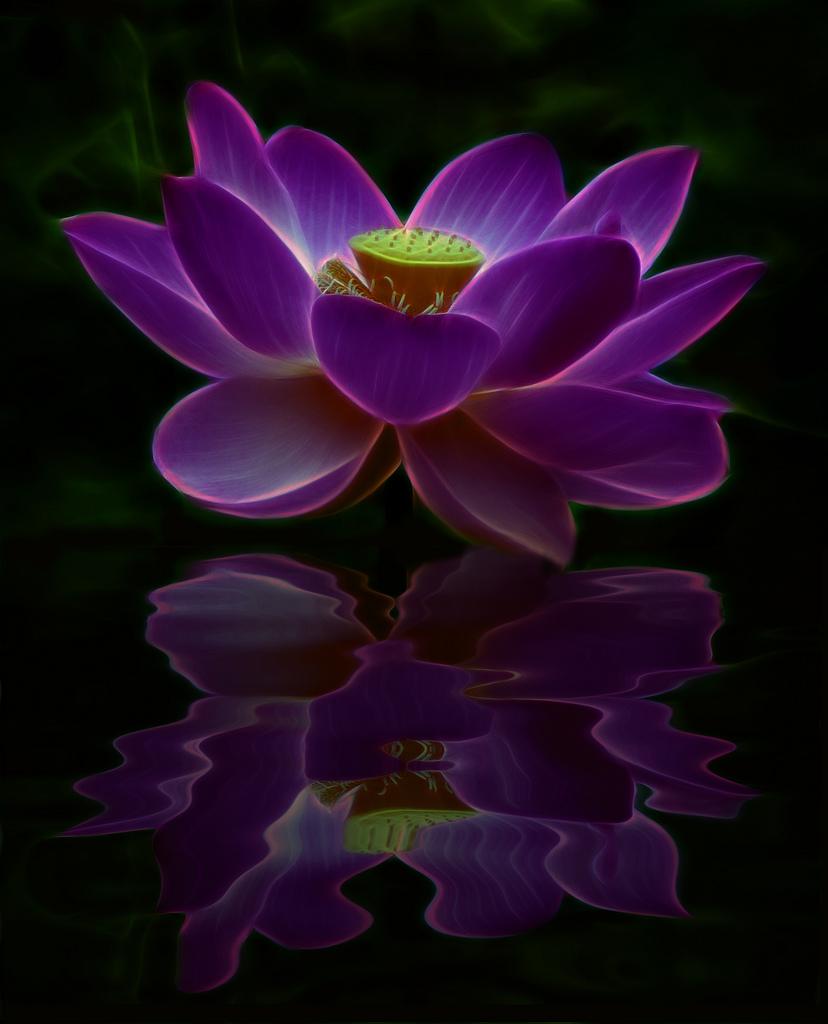 Purple Lotus Flower Meaning Gallery Flower Wallpaper Hd