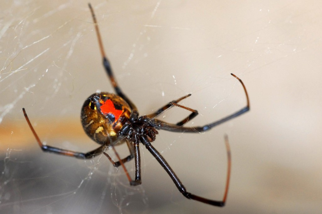 black-widow-spider-pictures-poisonous-northeast-nude-gir-irgasm-squirt-gif
