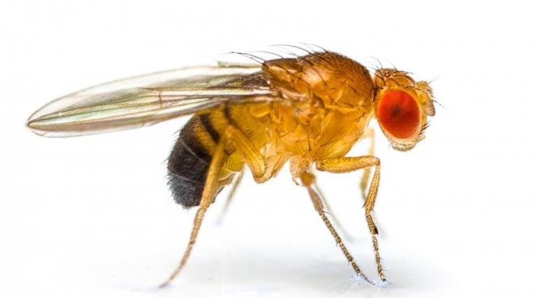 drosophila melanogaster research paper