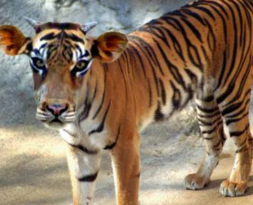 Image result for cow as tiger